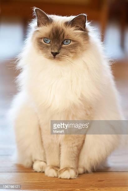 Sacred birman cat with blue eyes sitting