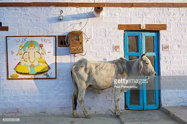 A sacred cow stands outside a house adorned with a Ganesh portrait. Jaisalmer, Rajasthan, India