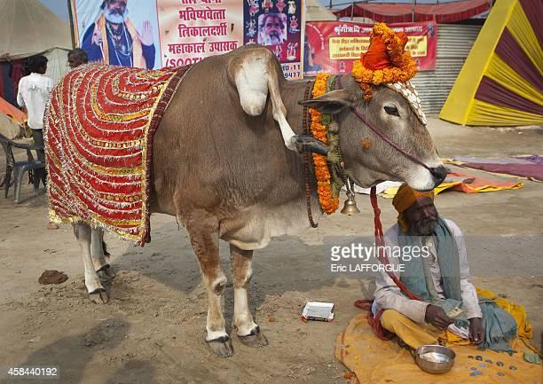 Sacred cow with five legs maha kumbh mela on February 12 2013 in Allahabad India