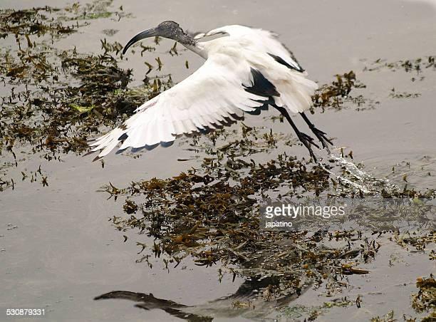 Sacred ibis. Threskiornis aethiopicus