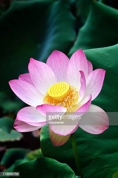 Sacred Lotus flower IV
