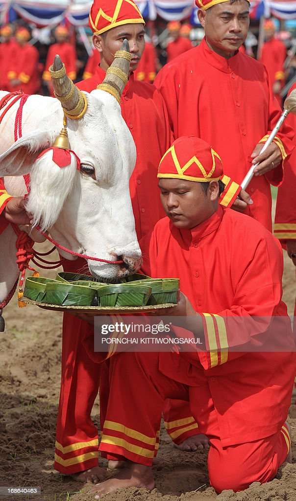 Sacred white oxen are offered seven kinds of food during the annual Royal Ploughing Ceremony, to mark the traditional beginning of the rice-growing season, at Sanam Luang in Bangkok on May 13, 2013. Based on what the oxen ate, court astrologers and seers predicted a good harvest, an abundance of food and plentiful water. AFP PHOTO / PORNCHAI KITTIWONGSAKUL