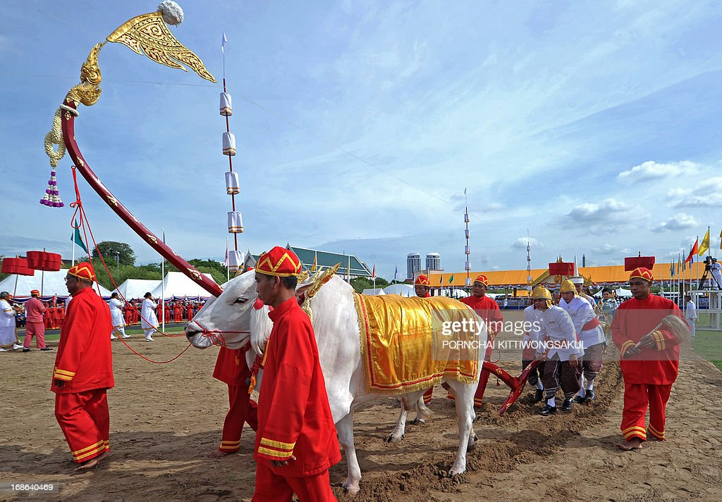 Sacred white oxen are paraded during the annual Royal Ploughing Ceremony, to mark the traditional beginning of the rice-growing season, at Sanam Luang in Bangkok on May 13, 2013. Court astrologers predicted a good harvest, an abundance of food and plentiful water.