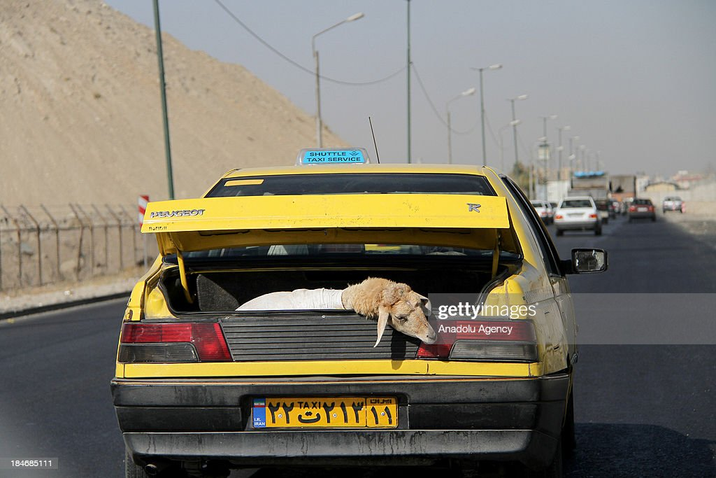 A sacrificial animal is being carried in a trunk of a car on October 15,2013 in Tehran, Iran. Eid al-Adha, also called Feast of the Sacrifice will be celebrated by Iranian Muslims on October 15,2013 in Iran.