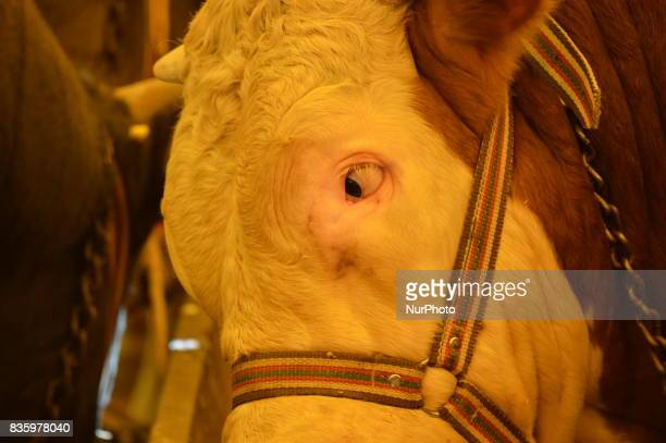 A sacrificial cow can be seen at a livestock market in the Yakacik area of Ankara Turkey on August 20 2017 Shepherds have brought their animals to...
