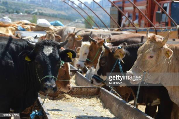 Sacrificial cows can be seen at a livestock market in the Yakacik area of Ankara Turkey on August 20 2017 Shepherds have brought their animals to the...