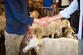 Selling sheep. Customer and seller shaking hands and dealing about the price of the sheep.