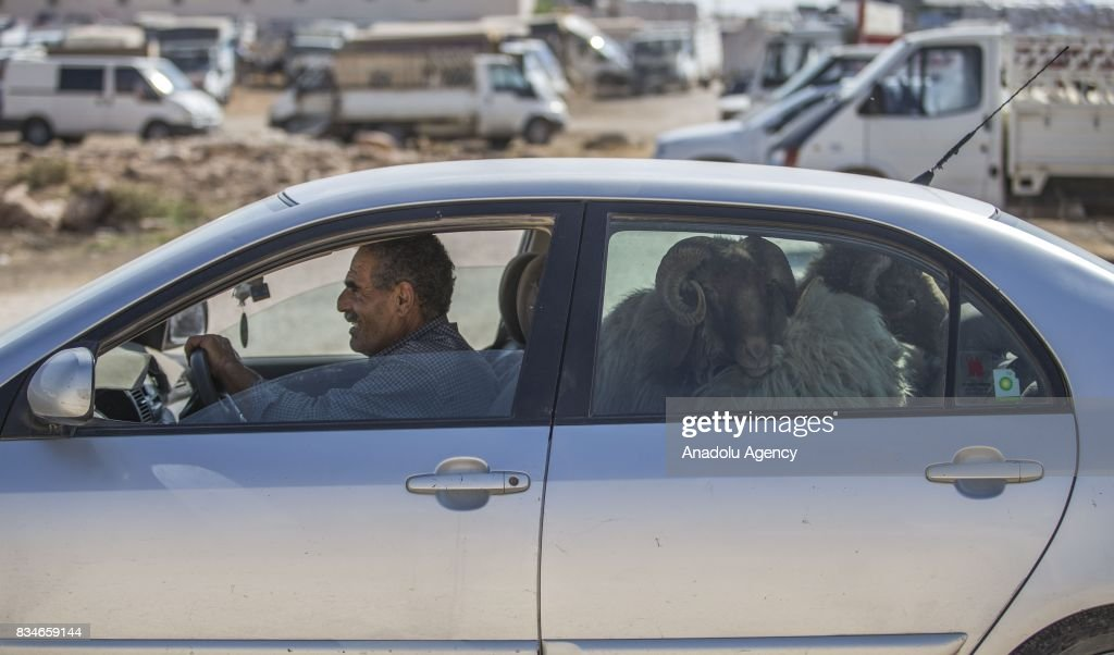 Sacrificial sheep are seen inside a car after their owner bought them at a livestock market ahead of the upcoming Muslim sacrificial festival 'Eid al-Adha in Sanliurfa, Turkey on August 18, 2017.