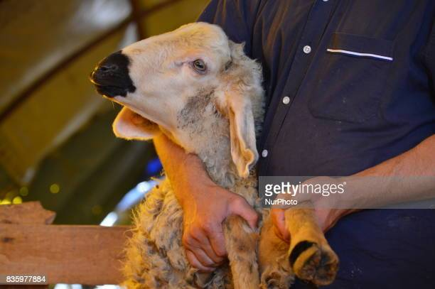 A sacrificial sheep can be seen at a livestock market in the Yakacik area of Ankara Turkey on August 20 2017 Shepherds have brought their animals to...