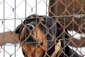 Sad bored abandoned rottweiler dog behind fence looking in eyes. Dog in cage waiting for walking with owner.