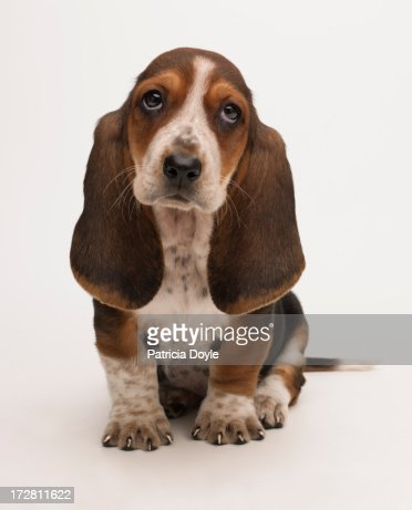 Sad bassett puppy : Foto stock
