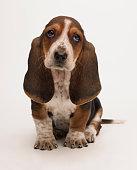 Sad bassett puppy