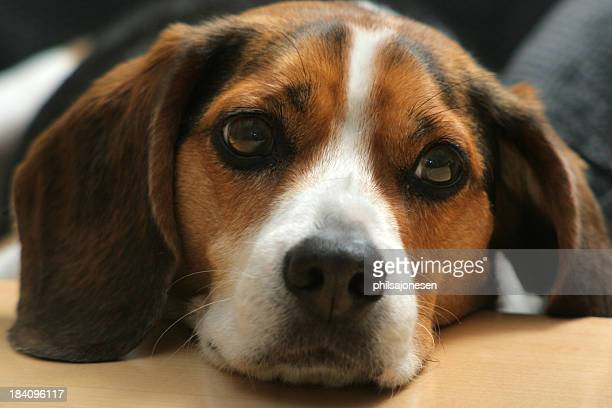 Sad beagle dog lying on his head