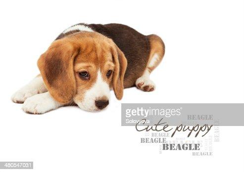 Triste beagle cachorro sobre blanco : Foto de stock