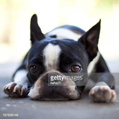 Sad Boston Terrier Dog