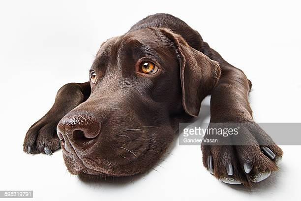 Sad Brown Labrador