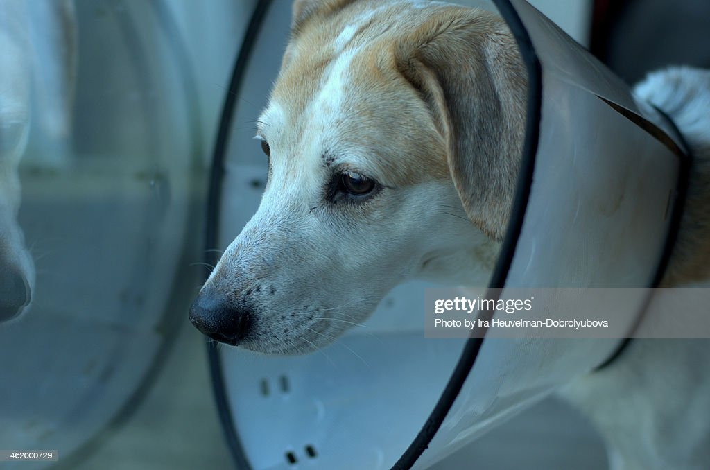 sad dog in medical collar looking outside : Stock Photo