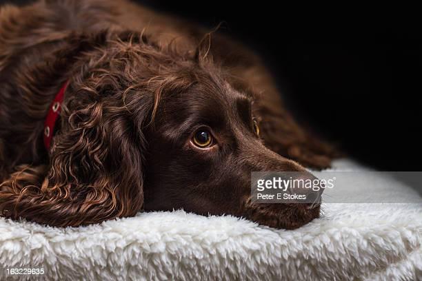 Sad eyed gorgeous brown spaniel dog