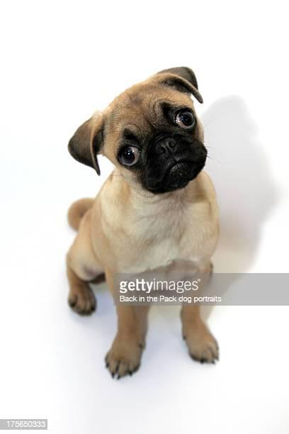 Sad eyed pug puppy dog