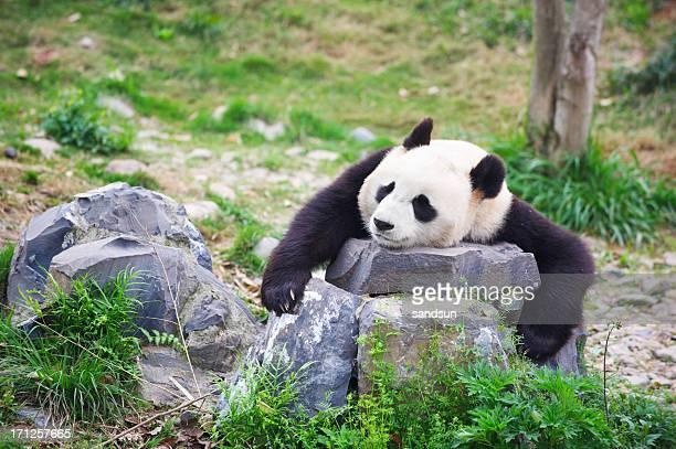 sad giant panda in zoo