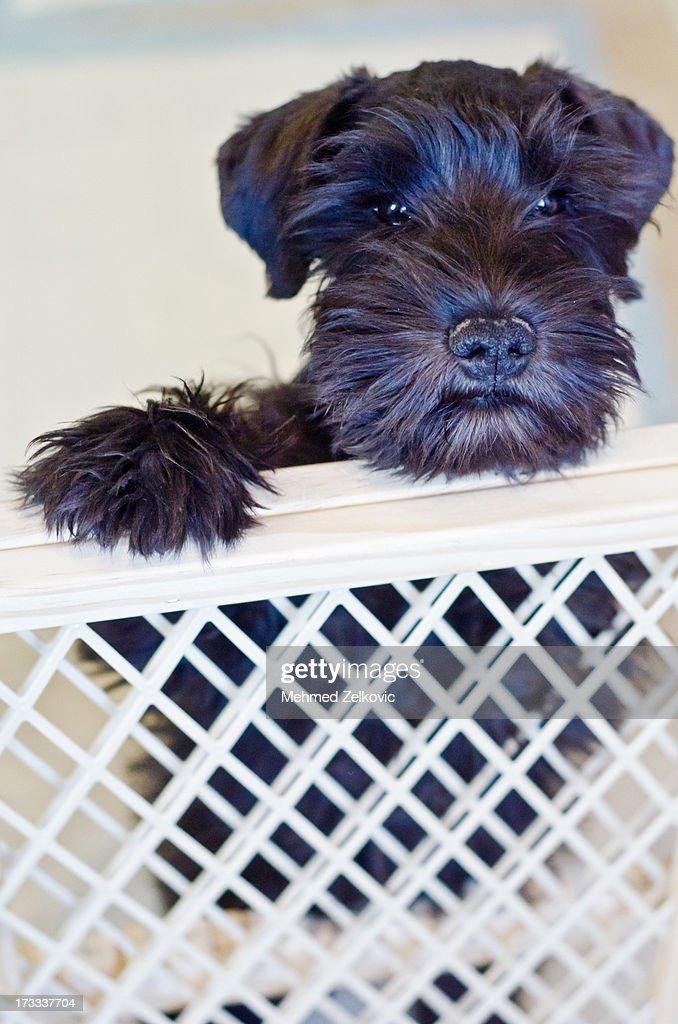 Sad Little Schnauzer Puppy : Stock Photo