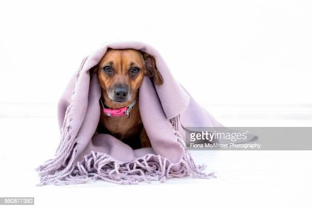Sad Looking Dog Feeling Unwell Under Blanket