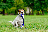 Jack Russell Terrier fetches its own leash