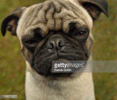 Sad Pug : Stock Photo