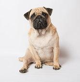 Funny Pug at white backgroundBeautiful Pug
