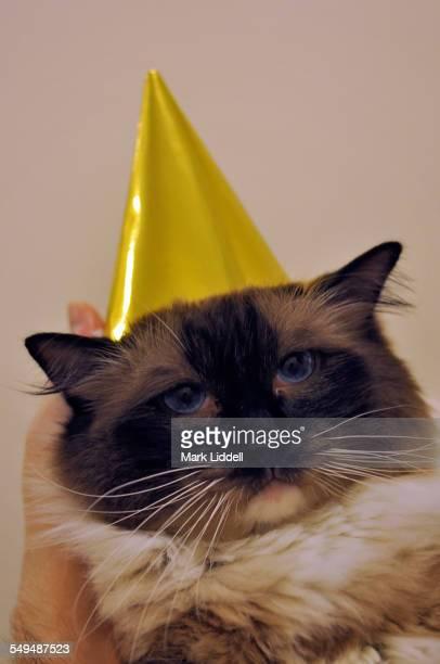 Sad Ragdoll cat wearing party hat
