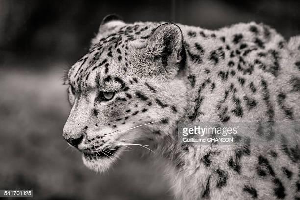 Sad snow leopard