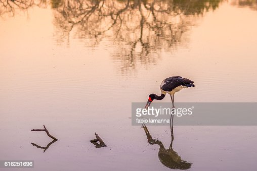 Saddle-billed stork fishing, South Africa : Foto de stock