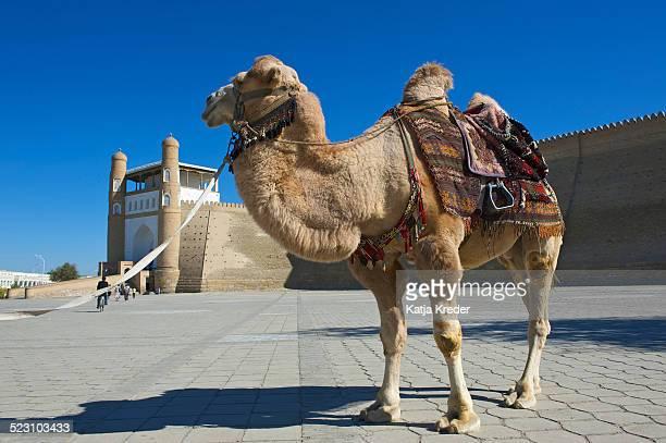 Saddled camel in front of the Ark fortress, Bukhara, Uzbekistan