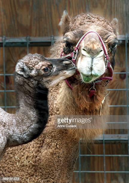 Sadie a Dromedary camel gave birth to the first baby born at Moorpark College on March 3 at 1pm The baby girl weighs between 40 and 45 lbs