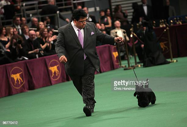 Sadie a Scottish Terrier walks with trainer Gabriel Rangel at the Westminster Kennel Club Dog Show February 16 2010 in New York City The 134th...
