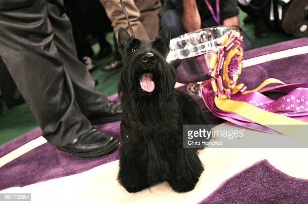 Sadie a Scottish Terrier won Best in Show at the Westminster Kennel Club Dog Show February 16 2010 in New York City The 134th Westminster Kennel Club...