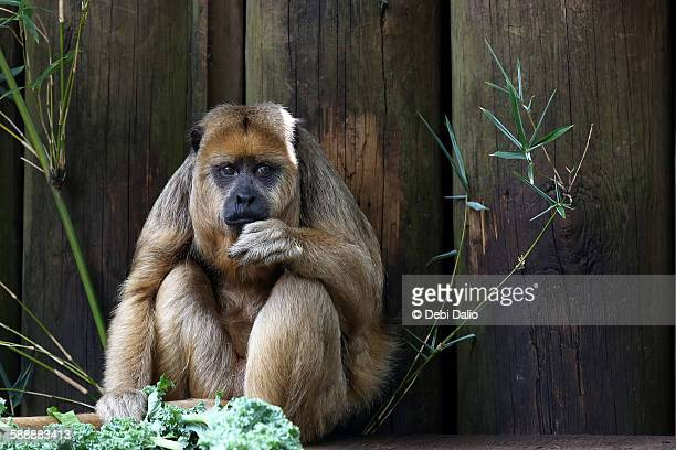 Sad-looking Monkey Eating Greens for Lunch