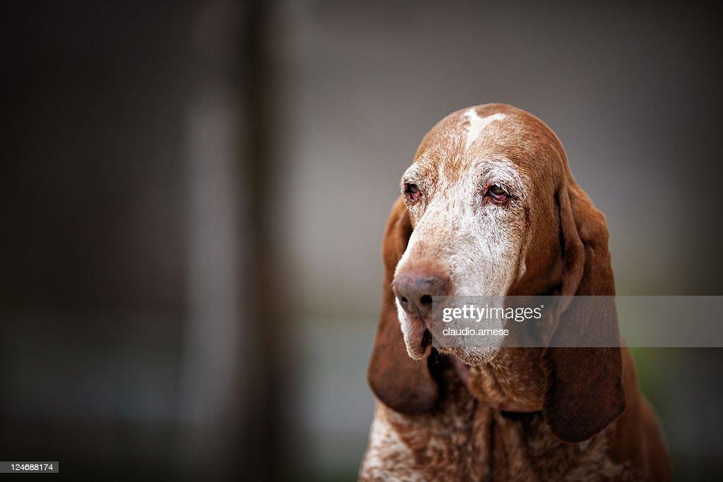 Sadness Bloodhound Portrait. Color Image