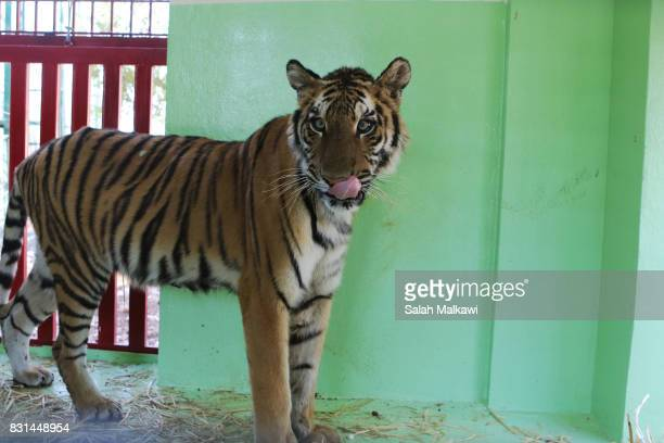 AUGUST 14 Saeeda a tiger who arrived from an Aleppo zoo in northern Syria stands in the AlMa'wa wildlife reserve near Souf on August 14 2017 in...