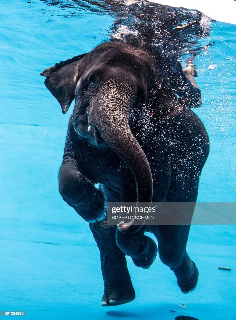 Saen Dao, an eight-year-old female asian elephant, and her mahout perform underwater during a show at the Khao Kheow Open Zoo in Chonburi south of Bangkok on June 1, 2017. / AFP PHOTO / Roberto SCHMIDT
