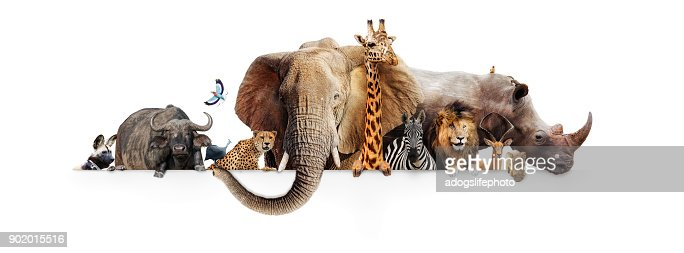 Safari Animals Hanging Over White Banner : Stock Photo