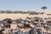Safari Animals Migration - Kenya.