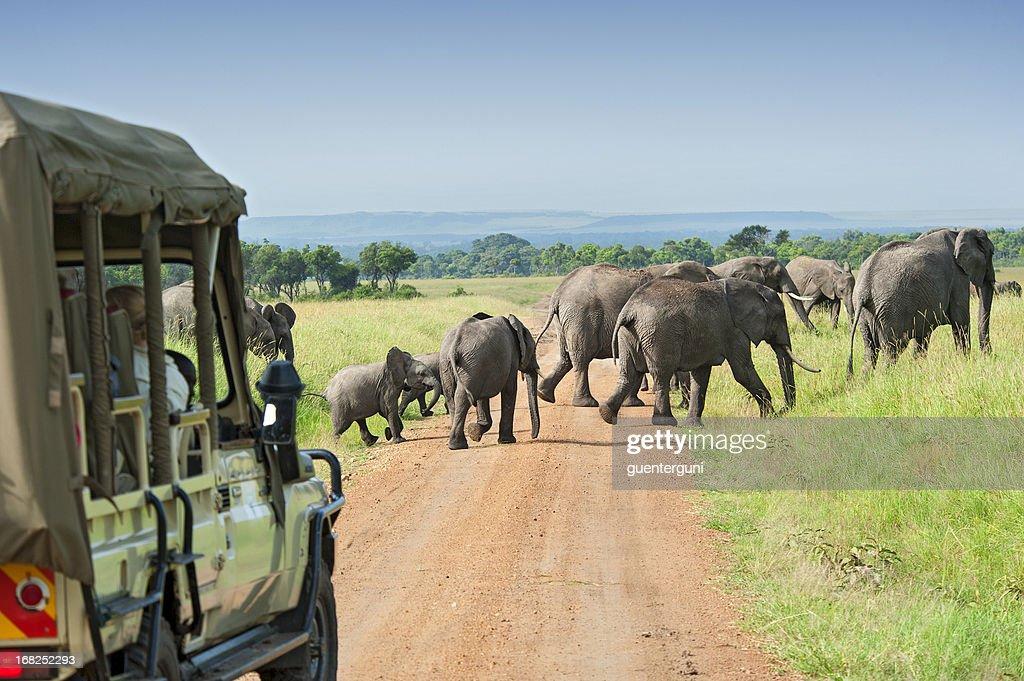 Safari car is waiting for crossing Elephants