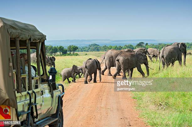 Safari car is waiting for crossing Elephants