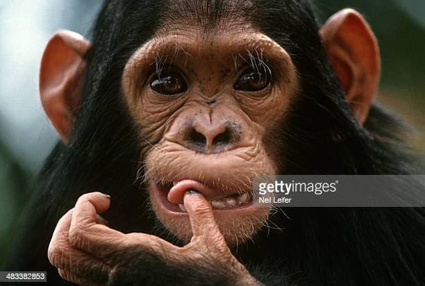 Closeup view of chimpanzee in a sanctuary Kenya 9/1/1986 9/30/1986 CREDIT Neil Leifer