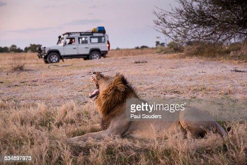 Safari Truck and Lion, Botswana