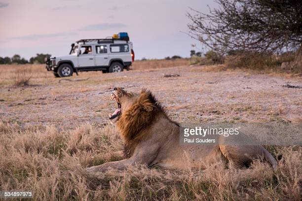 Safari Truck and Lion, Botswana