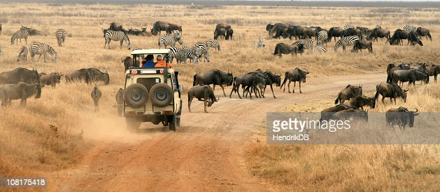 Safari Vehicle Looking at Herd of Wildebeest