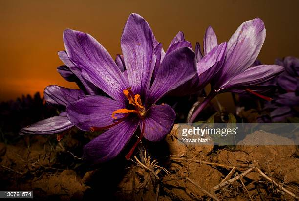 Saffron flowers are grown next to the setting sun on October 29 2011 in Pampore 20 km south of Srinagar the summer capital of Indian administered...