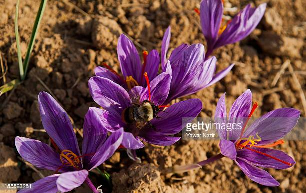 Saffron flowers grow on a farm on November 05 2012 in Pampore 20 km south of Srinagar the summer capital of Indian administered Kashmir India The...